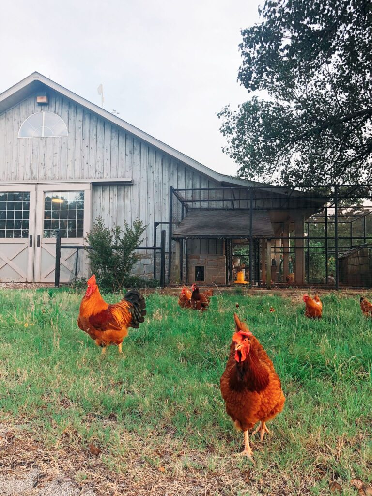 Backyard chickens in front of the barn and coop.