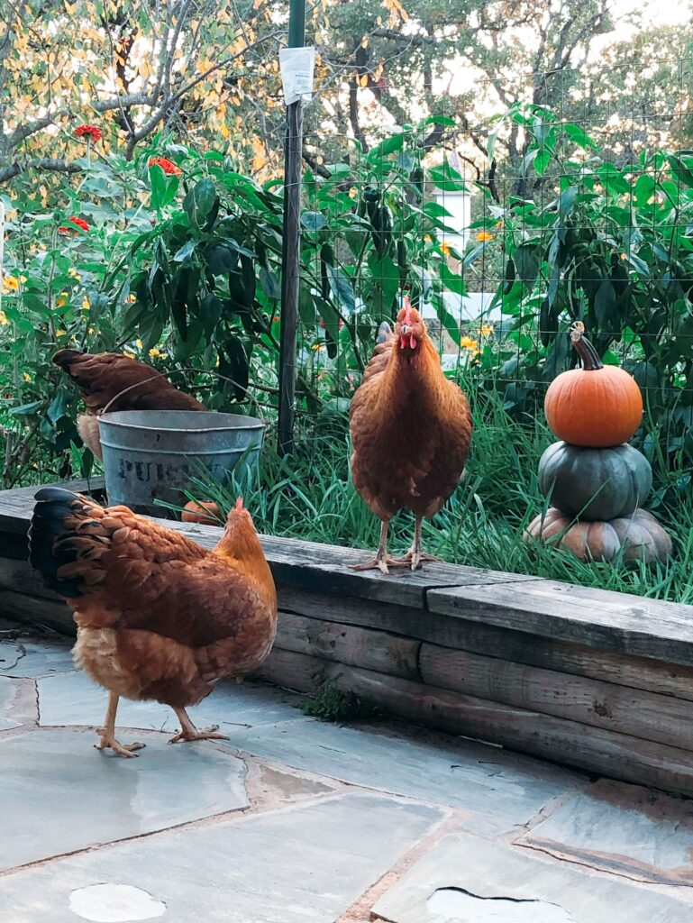 Chickens Snacking on Oats