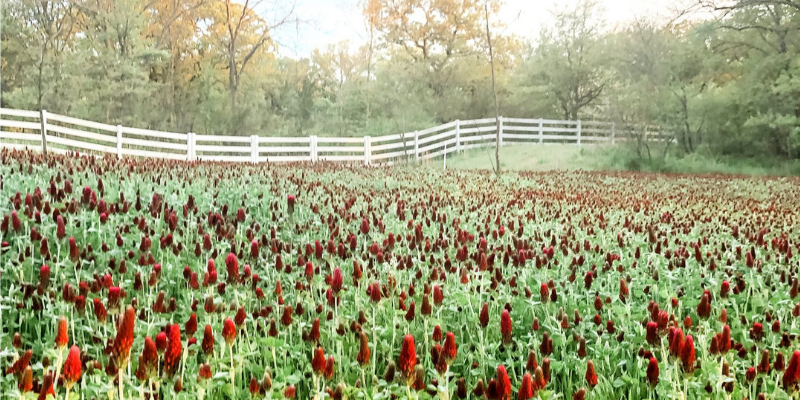 Field of Crimson Clover and White Fence