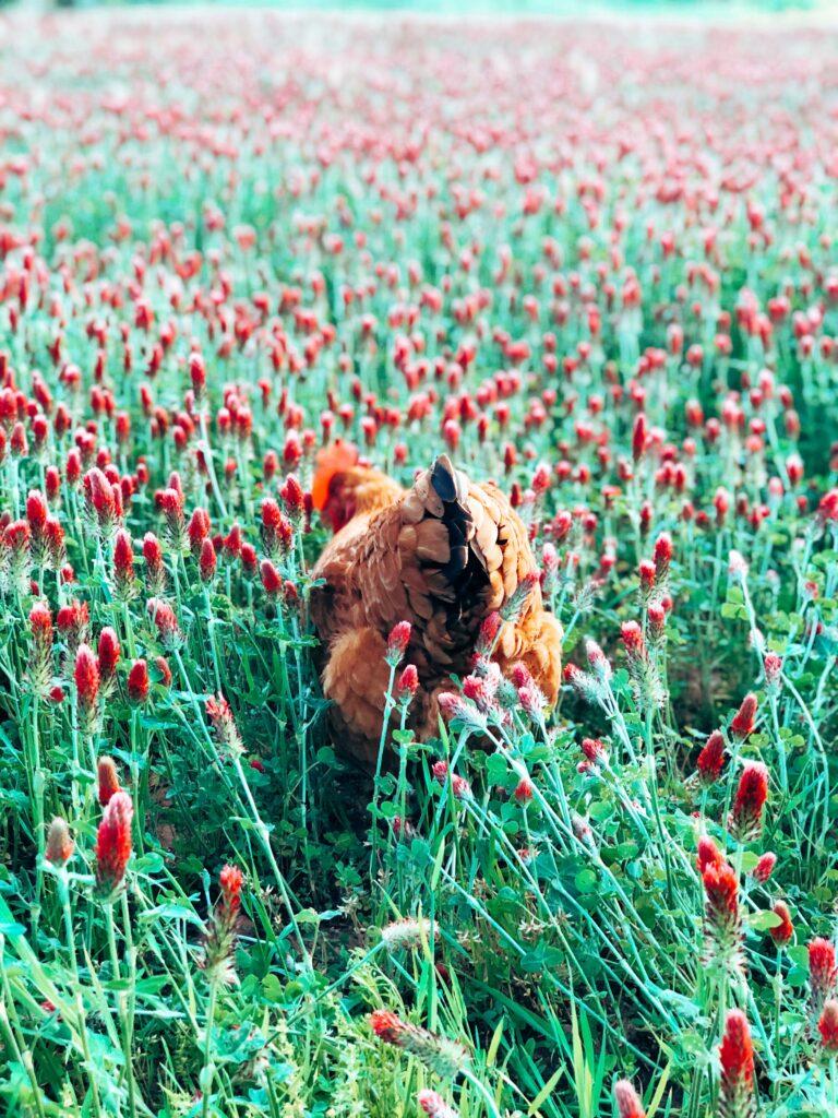 Hen in a Crimson Clover Field