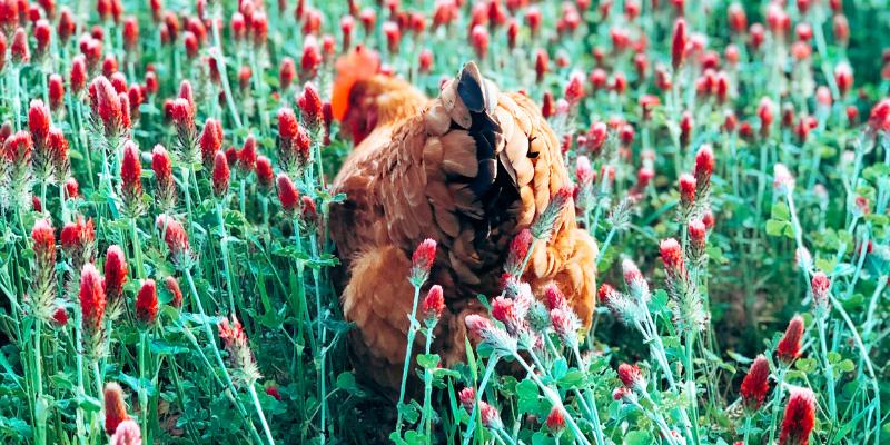 backyard chicken in crimson clover field