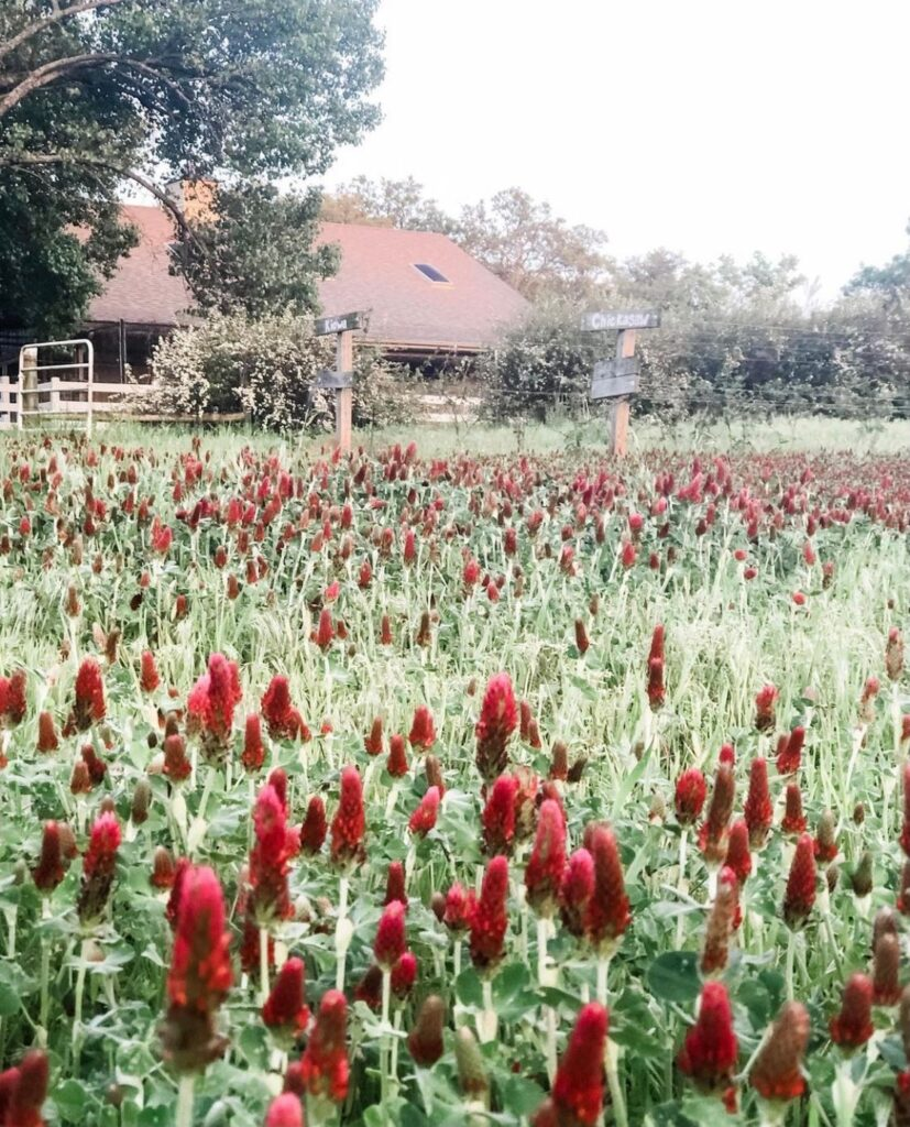 Field of crimson clover in front of a horse barn