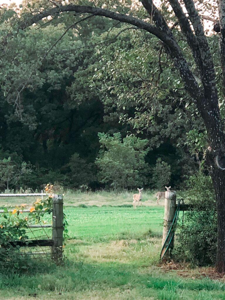 Several deer in a field of crimson clover, not blooming.