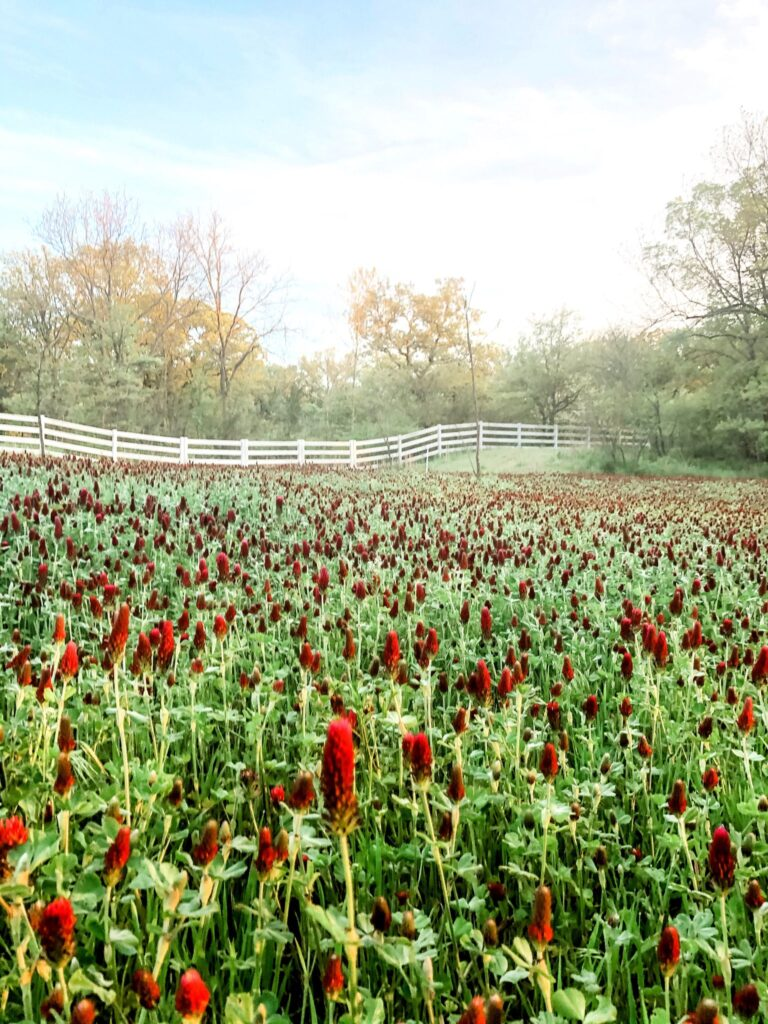 Living in the Country: A field of crimson clover and a white fence