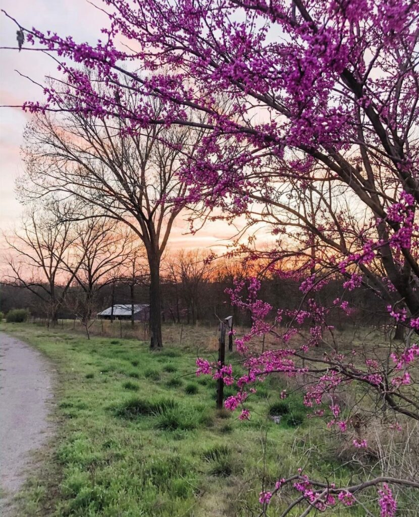Living in the Country Tour: Gravel road lined in blooming redbuds