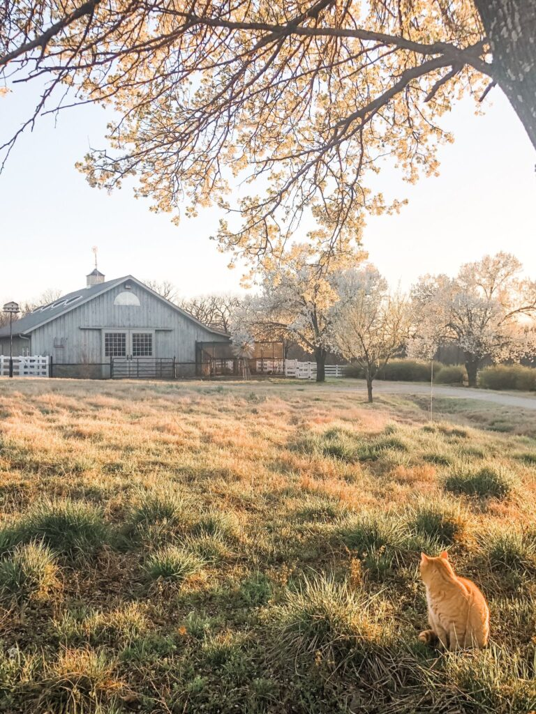 Living in the Country: Orange cat looking at large horse barn in the distance.