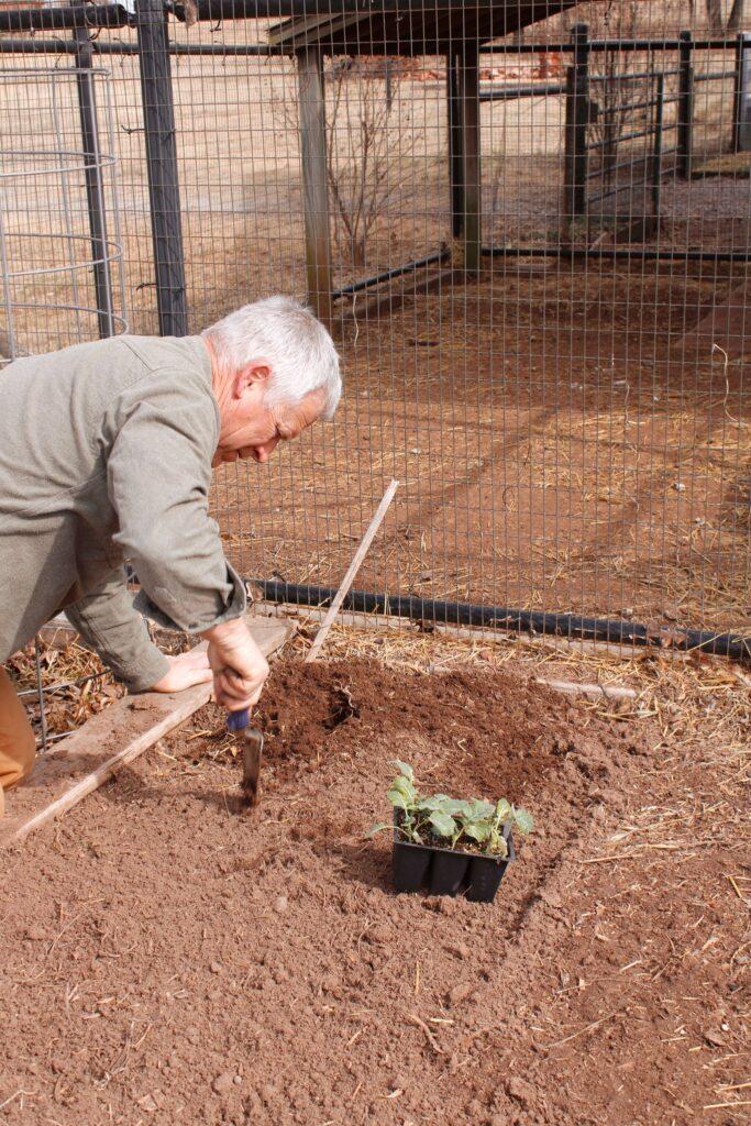 Bill planting broccoli, a great cool season vegetable
