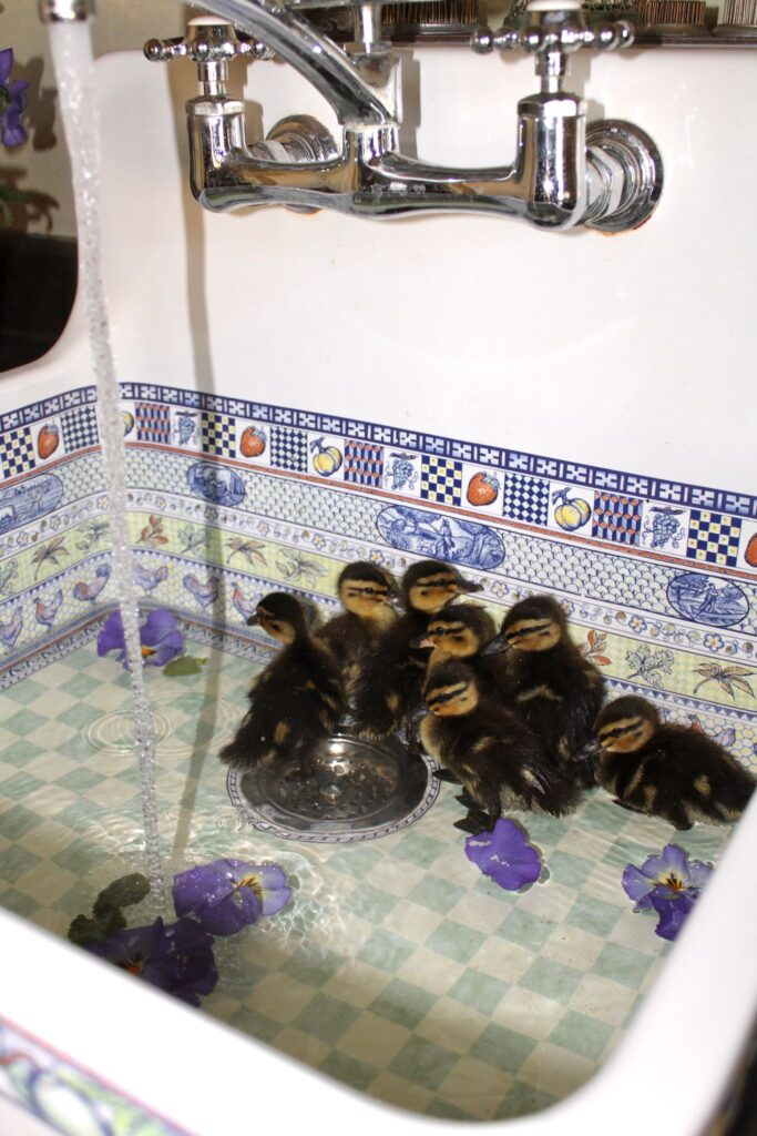 introducing ducklings to water