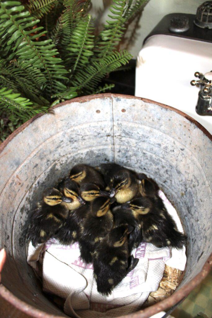 ducklings in a bucket
