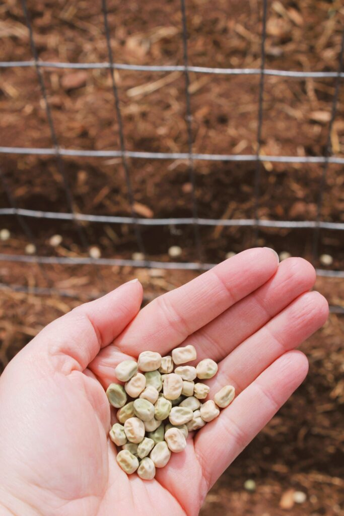 A hand full of garden peas ready to plant, a great cool season vegetable