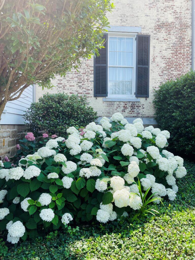 Beautiful Hydrangeas outside the home of P Allen Smith