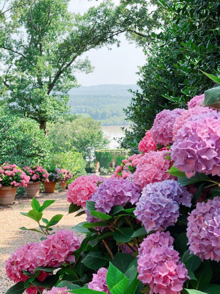 Hydrangeas at Moss Mountain Farm