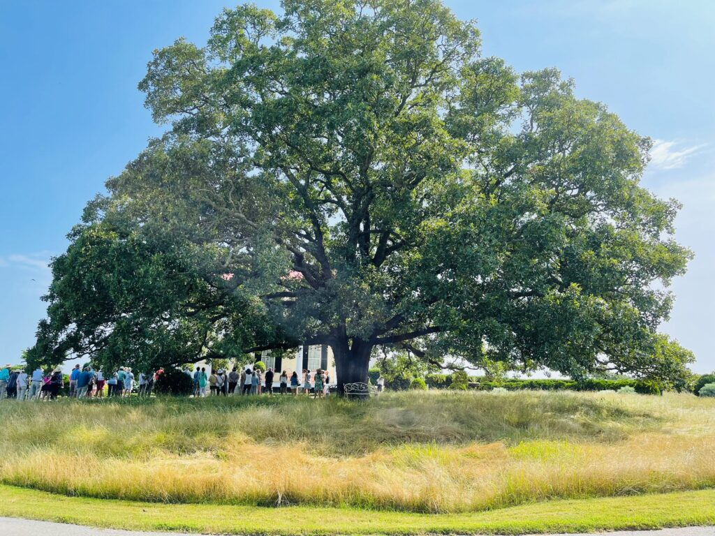 The Sister Oak Tree at Moss Mountain Farm, out home and garden tour started here