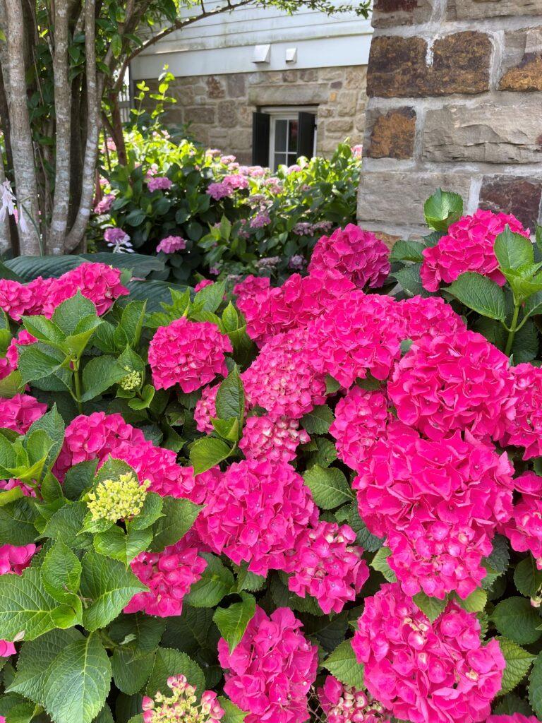 Vibrant Hydrangeas at Moss Mountain Farm